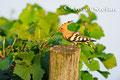 Wiedehopf: Wiedehopf im Weingarten