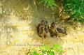 Uhu: Flugfähige Junguhus sitzen in der Schotterwand