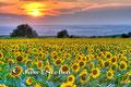 Schmidatal: Sonnenblumenfeld kurz vor Sonnenuntergang