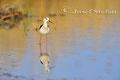 Vögel: Stelzenläufer am Neusiedlersee
