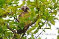 """Eulen: Junge Waldohreulen verlassen frühzeitig das Nest, und sind dann als """"Ästlinge"""" in den Bäumen zu finden."""