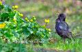 Vögel: Balzender Star