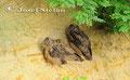 Eulen: Die jungen Uhus können schon fliegen, sitzen aber noch in der Nähe des Brutplatzes.