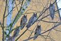 Eulen: Waldohreulen versammeln sich im Winter auf einem gemeinsamen Schlafplatz