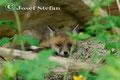 Jungfüchse: Fuchswelpe hält ein Mittagsschläfchen
