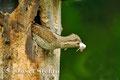 Vögel: Der Wendehals hält seine Kinderstube rein
