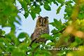 Eulen: Waldohreule sitzt im Nussbaum