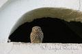 Steinkauz: Steinkauz sitzt am Kellerfenster