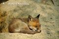 Jungfüchse: Schlafender Jungfuchs