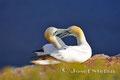 Vögel: Basstölpel auf Helgoland