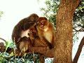 les singes du cap