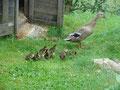 Die Enten sind geschlüpft