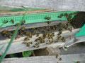 Bienentraube vorm Flugloch, wenns heiß ist.