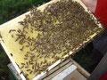 Bienen beim Wabenausbau