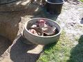 Altlasten. Diese Ringe wurden für die Bananen genommen. Einbetoniert ein sauberer Randabschluß  im Boden.