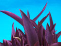 Rotblatt aus Gomera vor dem Pool.