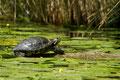 Rotwangenschmuckschildkröte 2