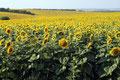 endlose Sonnenblumenfelder