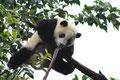 grosser Panda (Chengdu)