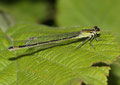 """Großen Pechlibelle, Ischnura elegans, Weibchen in der Altersform """"infuscans""""."""