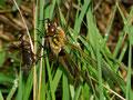 dieses Männchen hat den Schlupf bereits vollzogen und sieht sich mit seiner Exuvie konfrontiert. Wegen der kalten Witterung konnte die junge Libelle jedoch noch nicht ihren Jungfernflug antreten.
