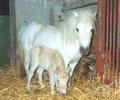 """""""Milka"""" Verbandsprämienstute hier mit Milky Ways Schwester """"Maika""""  1998"""