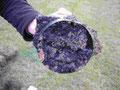 ungestörte Bodenprobe mit Schwarzfärbung