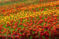 Tulpenmeer im Bodensee: Insel Mainau