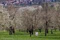 Kirschblüte im Obereggenental
