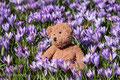 Husum ist die graue Stadt am Meer. Aber im Frühling blüht für eine kurze Zeit der ganze Schlosspark in einem violetten Krokusblüten-Meer.