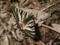 5月1日北小谷で撮影したヒメギフチョウ♀です