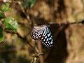 リュウキュウアサギマダラも飛んでいました、本部町、2010.11.12