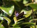 樹上から降りてこなかったムラサキツバメ♀豊橋市2010.11.30 E-620 ZD70-300㎜