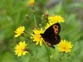 ベニヒカゲの吸蜜写真、新鮮な蝶の撮影は気持ちのいいものです。