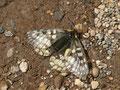 ウスバキチョウ♀の開翅ですが、これでましな方です