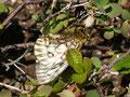 比較的きれいなウスバキチョウ♀がクロマメノキ?で吸蜜している、それにしても大きな交尾嚢