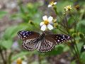 ツマムラサキマダラ♀、本部町2010.11.12こちらは雌がセンダングサへ来ています
