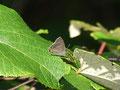アイノミドリシジミ♂の裏面(ストロボ発光、トリミング)