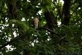 ツミ Accipiter gularis