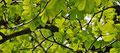 Frisches Blätterwerk