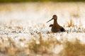 Uferschnepfe (Limosa limosa), Mai 2020 Nds/GER, Bild 49