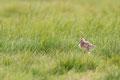Uferschnepfe (Limosa limosa), Mai 2020 Nds/GER, Bild 48