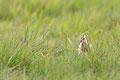 Uferschnepfe (Limosa limosa), Mai 2020 Nds/GER, Bild 47