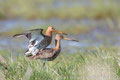 Uferschnepfen (Limosa limosa) Paarung., April 2016 Nds/GER, Bild 14
