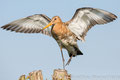 Uferschnepfe (Limosa limosa), Juni 2017 Nds/GER, Bild 31