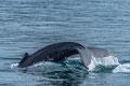 fluke des buckelwals