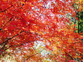 12月2日 ピークは過ぎたというものの燃えるような紅葉!参道は紅葉のトンネルになっていました