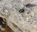 ein Prächtiger Blattkäfer (Chrysolina fastuosa) im ungewöhnlichen Terrain