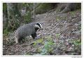 Blaireau - Meles meles - Eurasian Badger (14)