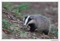 Blaireau - Meles meles - Eurasian Badger (8)